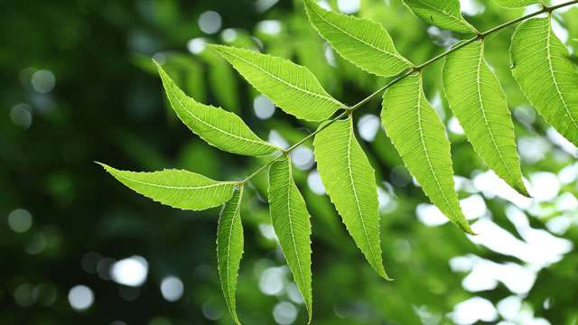 Image result for neem leaves benefits
